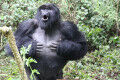 Hidden meaning of mountain gorillas' chest beats